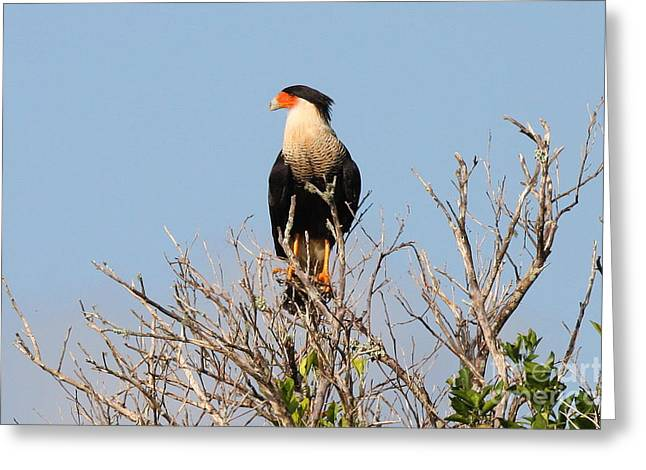 Greeting Card featuring the photograph Crested Cara Cara by Jennifer Zelik