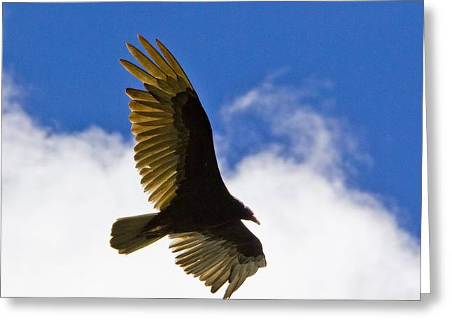 Crested Caracara Greeting Card by Roger Wedegis