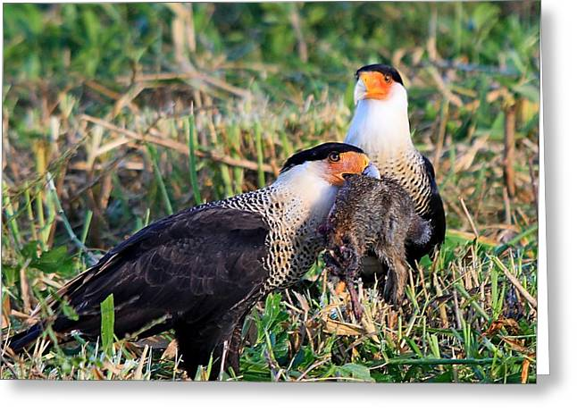 Crested Caracara With Rabbit Greeting Card