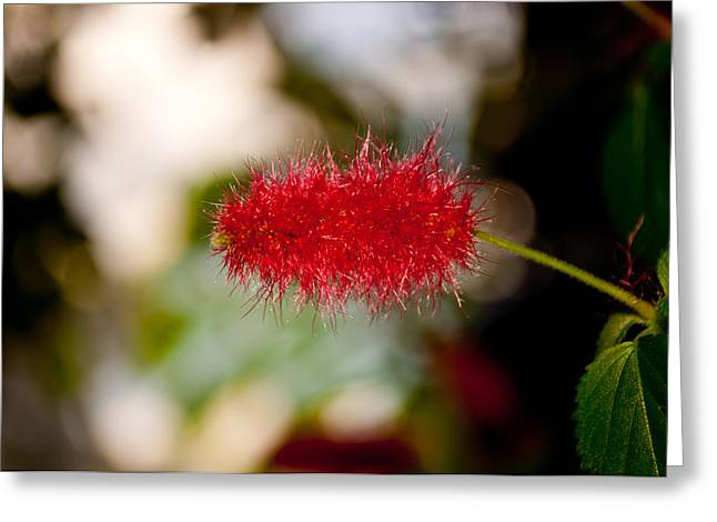 Greeting Card featuring the photograph Crimson Bottle Brush by Tikvah's Hope