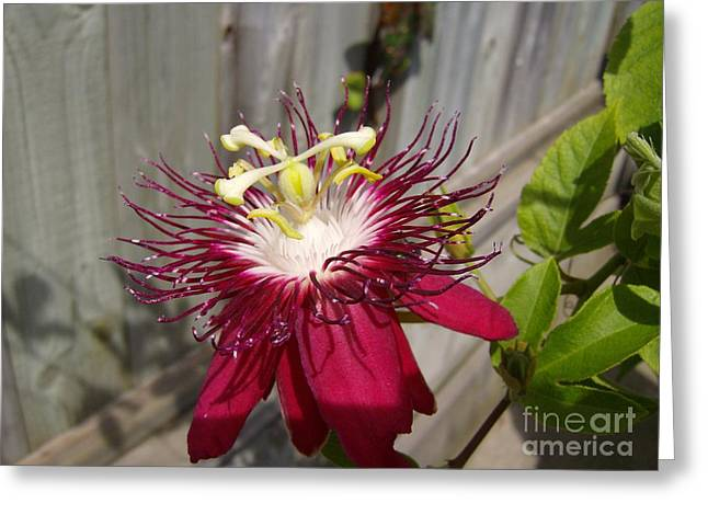 Crimson Passion Flower Greeting Card by Jane Whyte