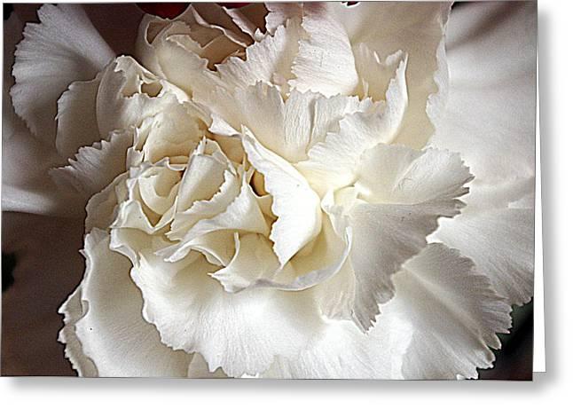 Greeting Card featuring the photograph Crisp Carnation Photo by Deniece Platt