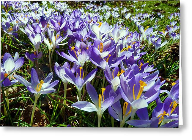 Crocuses Greeting Card by Janice Drew