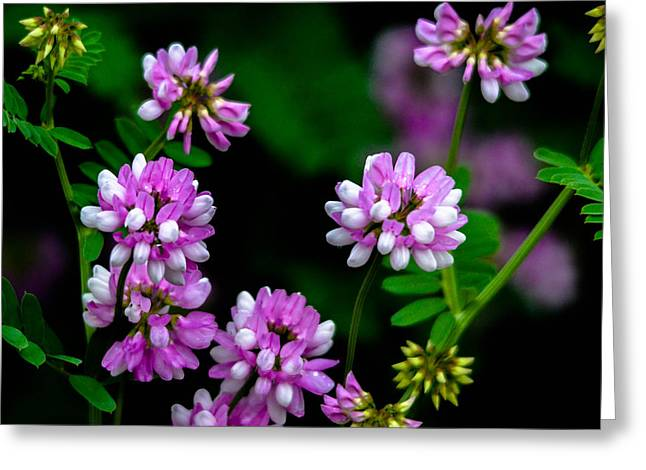 Crown Vetch Greeting Card by Brian Stevens