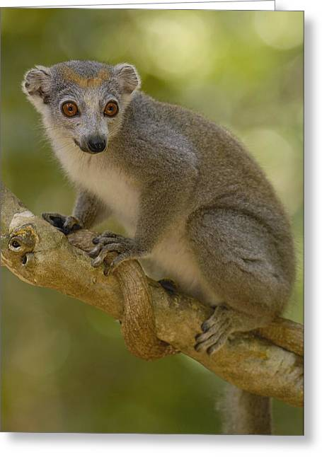 Crowned Lemur Eulemur Coronatus Female Greeting Card by Pete Oxford