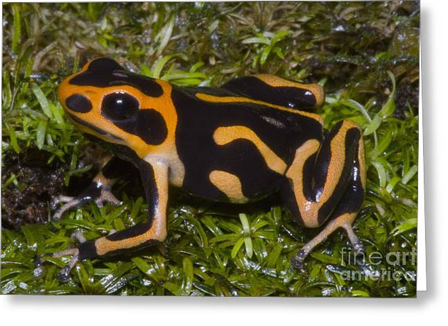 Crowned Poison Frog Greeting Card by Dante Fenolio