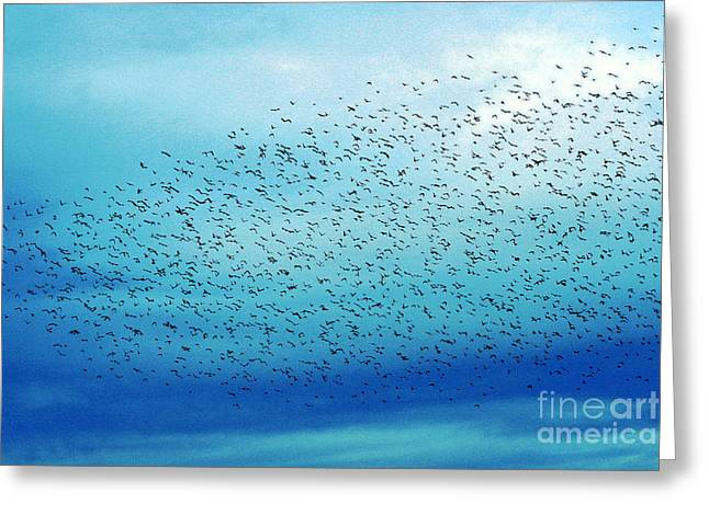 Crows On The Move Greeting Card
