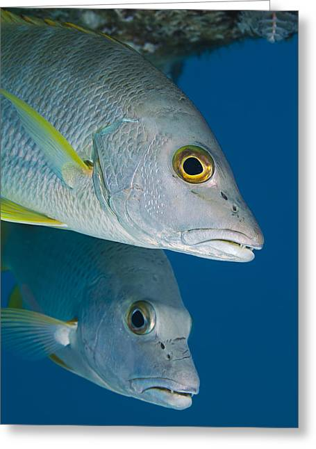 Cubera Snappers Greeting Card by Dave Fleetham - Printscapes