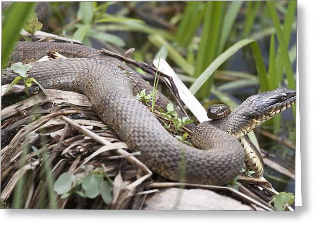 Cuddling Snakes Greeting Card by Jeannette Hunt