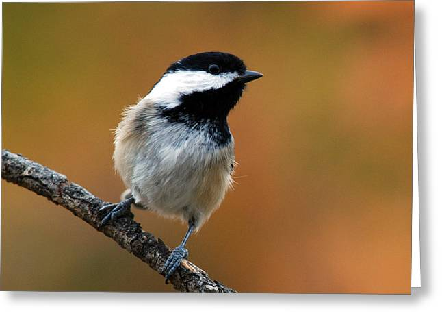 Curious Black-capped Chickadee Greeting Card