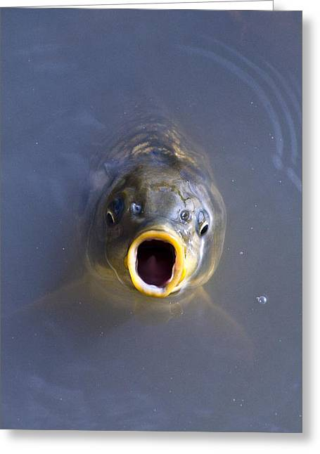Curious Carp Greeting Card by Al Powell Photography USA