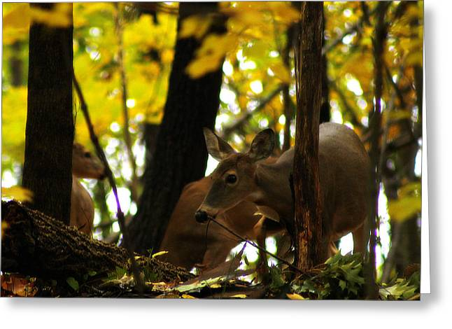 Curious Doe Greeting Card by Scott Hovind