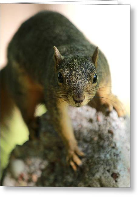 Fox Squirrel Greeting Cards - Curious Greeting Card by Elizabeth Hart