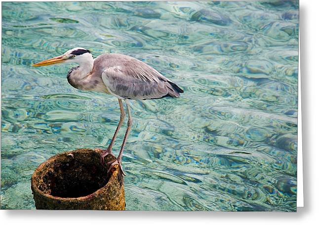 Curious Heron. Maldives Greeting Card by Jenny Rainbow