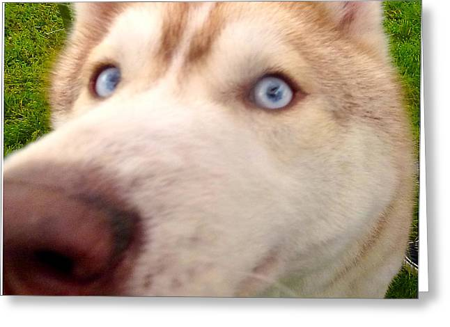 Curious Husky Greeting Card by Alene Sirott-Cope