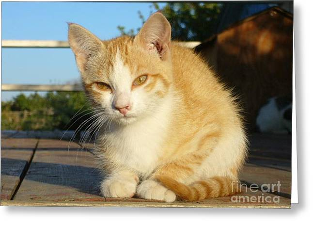 Greeting Card featuring the photograph Curious Kitten by Jim Sauchyn