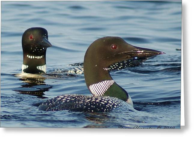 Greeting Card featuring the photograph Curious Loons by Steven Clipperton