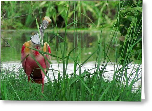 Curious Roseate Spoonbill Greeting Card by Betty Berard