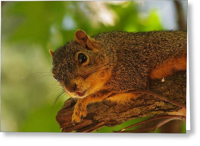 Curious Squirrel Greeting Card by Billy  Griffis Jr