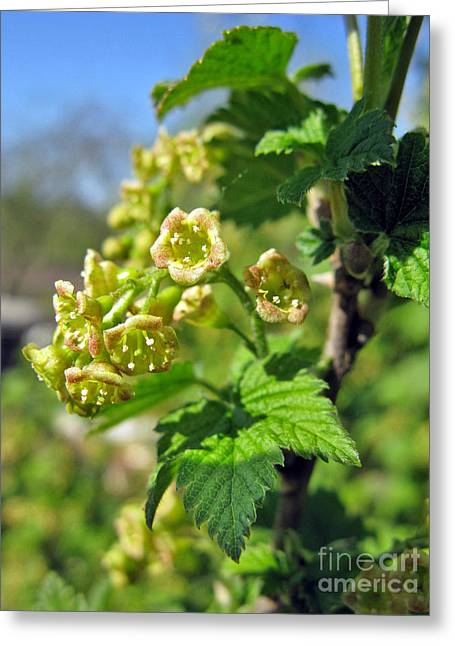 Currant In Bloom Greeting Card by Ausra Huntington nee Paulauskaite