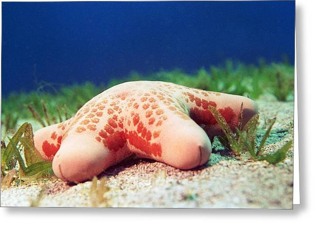 Cushion Star (choriaster Granulatus) Greeting Card