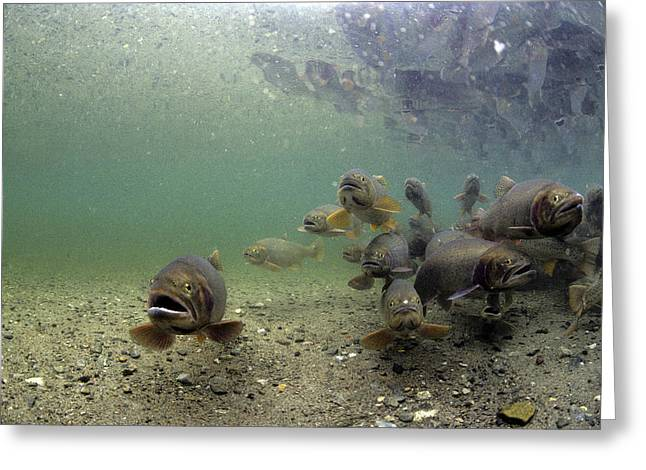 Cutthroat Trout School In Lake Greeting Card by Michael S. Quinton