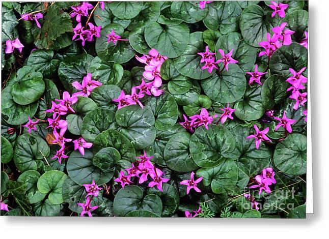 Cyclamen Flowers (cyclamen Coum) Greeting Card by Bob Gibbons
