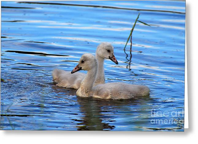 Cygnet Siblings Greeting Card by Whispering Feather Gallery