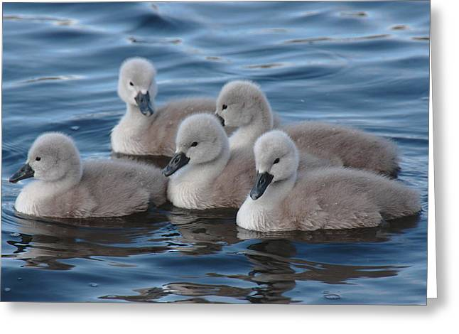 Cygnets At Menlo Pier Greeting Card