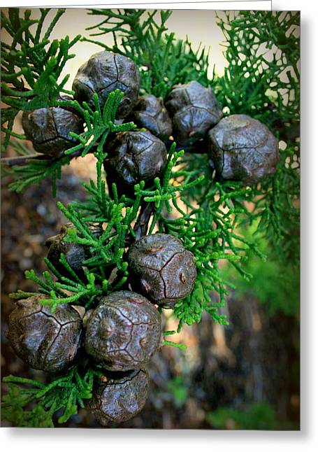 Cypress Seed Pods Greeting Card by Cindy Wright