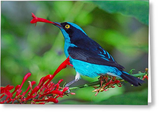 Dacnis Lineata Greeting Card