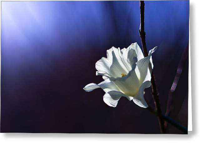 Daffodil Light Greeting Card by Lori Coleman