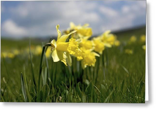 Daffodils Greeting Card by Bernard Jaubert