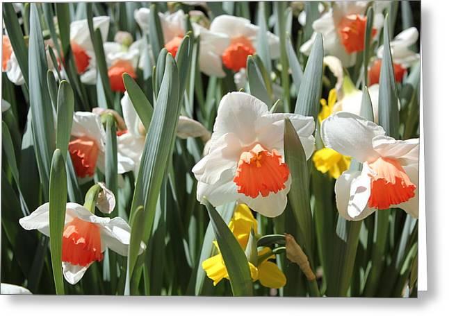 Daffodils Greeting Card by Felix Zapata
