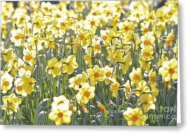 Greeting Card featuring the photograph Daffodils  by Gary Bridger