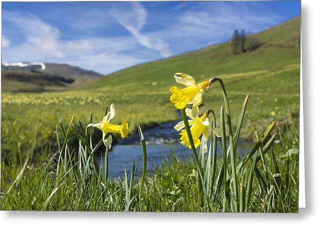 Daffodils  In Cezallier. Auvergne. France Greeting Card by Bernard Jaubert