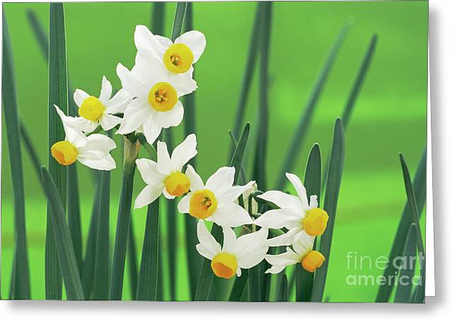 Daffodils (narcissus Canaliculatus) Greeting Card by Archie Young