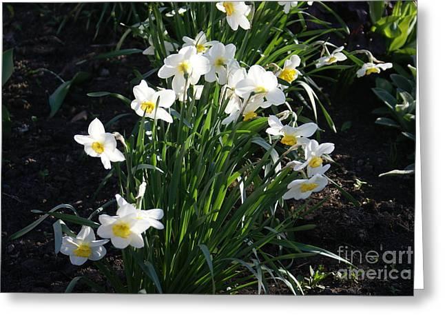 Daffodils Of Suzdal Greeting Card by Padamvir Singh
