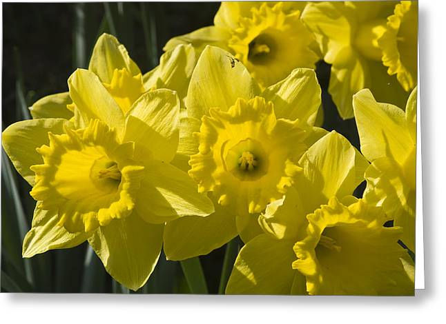 Greeting Card featuring the photograph Daffodils by Rob Hemphill