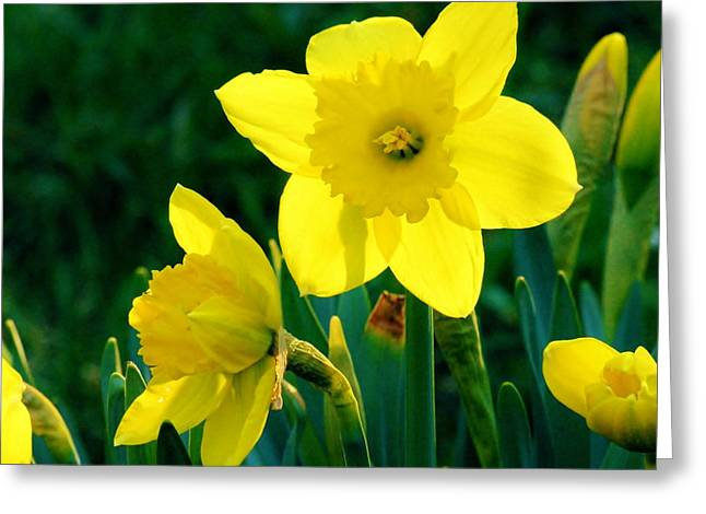 Greeting Card featuring the photograph Daffodils by Sherman Perry