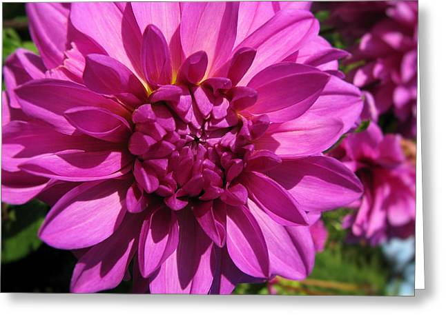 Dahlia Describes The Color Pink 1 Greeting Card
