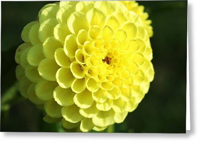 Dahlia In Yellow Greeting Card by Cathie Tyler