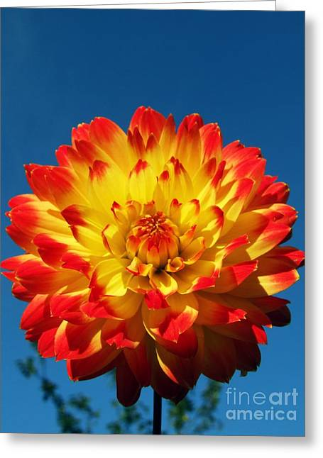 Dahlia 'procyon' Greeting Card by Ian Gowland and Photo Researchers
