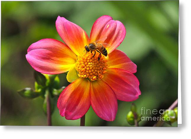 Greeting Card featuring the photograph Dahlia Sun by Eve Spring