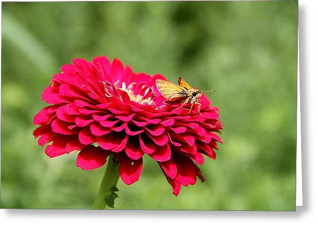 Greeting Card featuring the photograph Dahlia's Moth by Elizabeth Winter