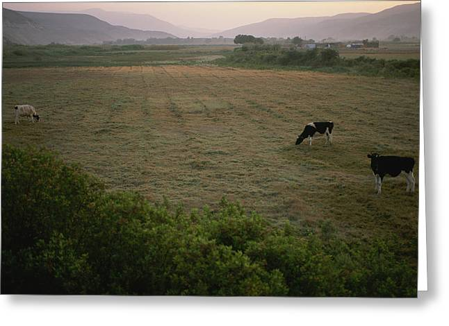 Dairy Cattle Graze In An Irrigated Greeting Card by Joel Sartore
