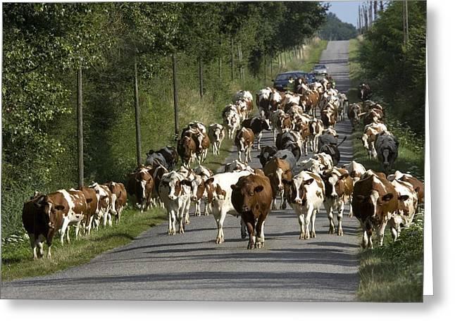 Dairy Herd In Rural France Greeting Card