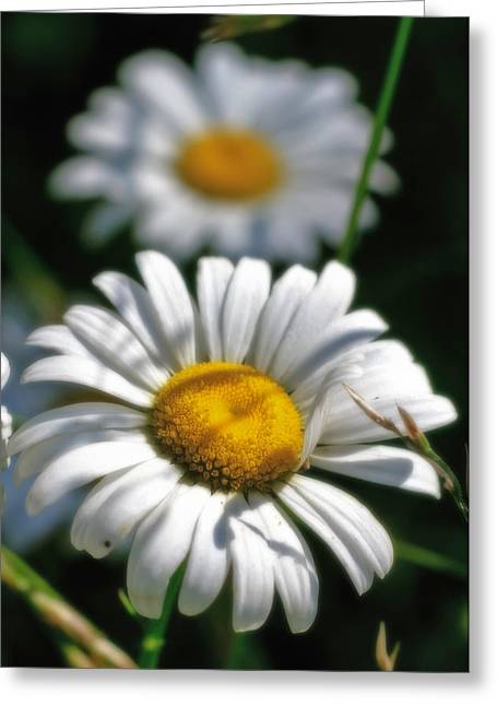 Daisies Aglow Greeting Card