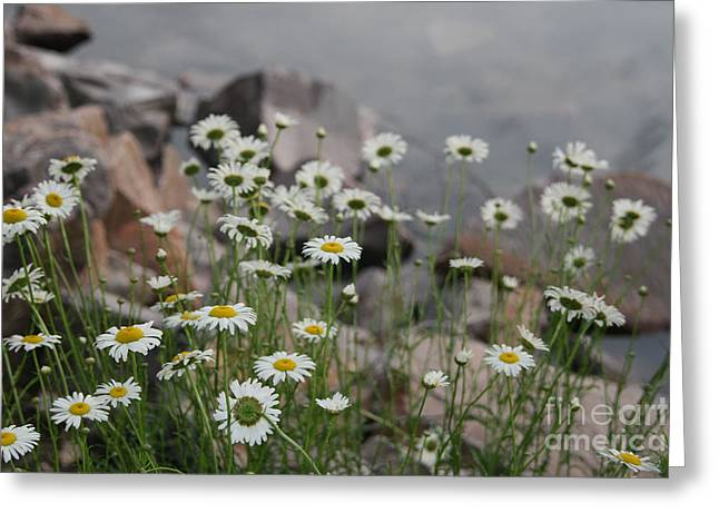Daisies And How They Grow Greeting Card by Joan McArthur