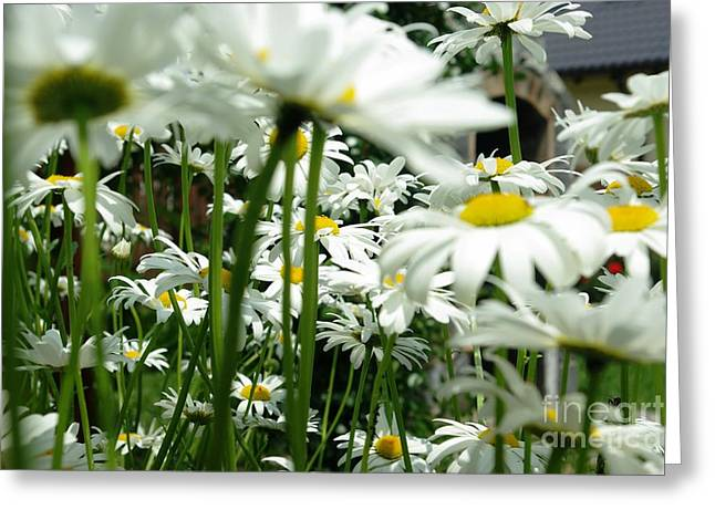 Greeting Card featuring the photograph Daisies In My Garden by AmaS Art